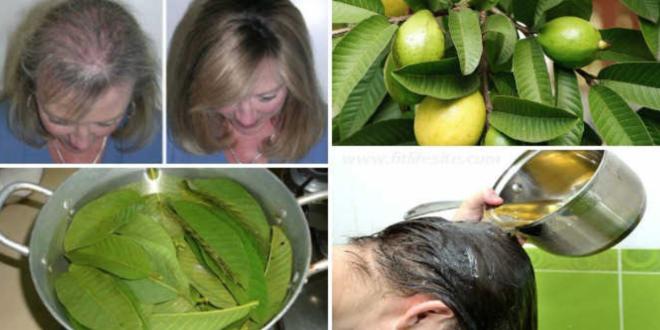 اوراق الجوافة للشعر