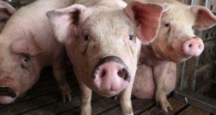 لماذا حرم الله اكل الخنزير