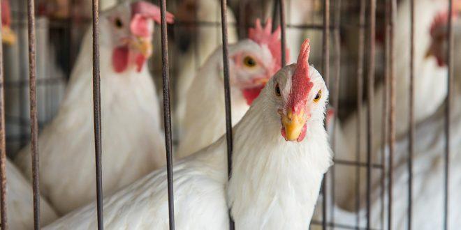 وظائف هرمونات الدجاج